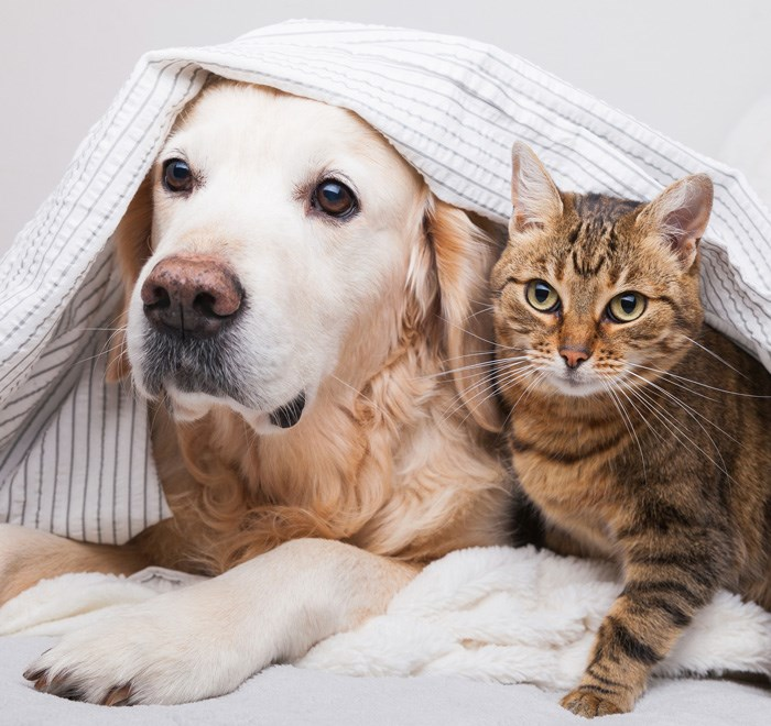 Dog Cat Golden Retriever Tabby