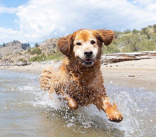Dog Golden Retriever Lake