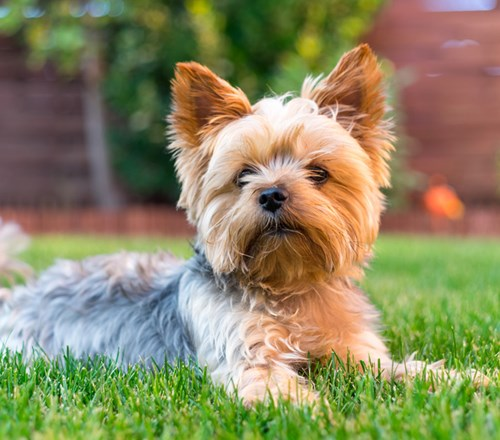 Dog Yorkshire Terrier Brown