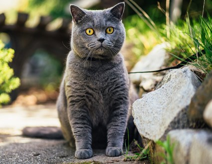 Cat British Shorthair Grey