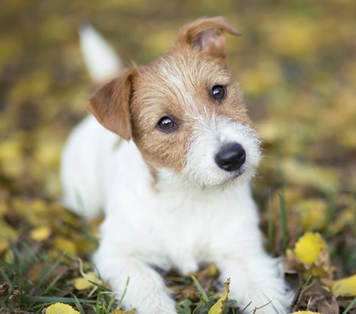 Dog Puppy Jack Russell Leaves