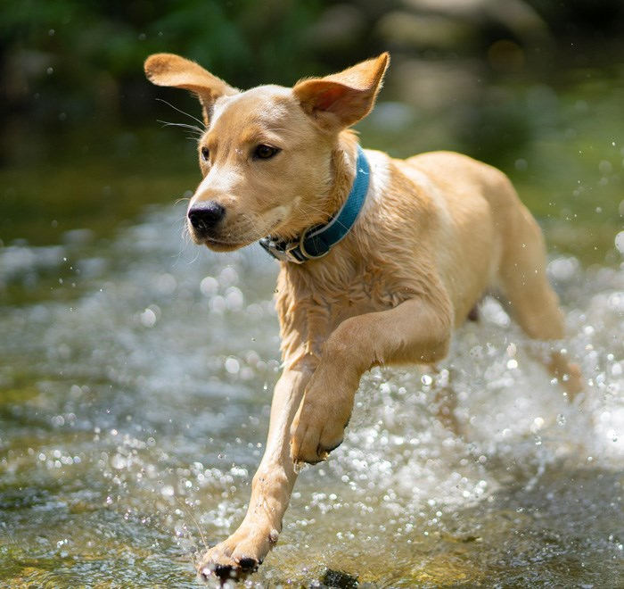 Dog Labrador Running Water
