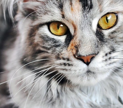 Cat Maine Coon Grey