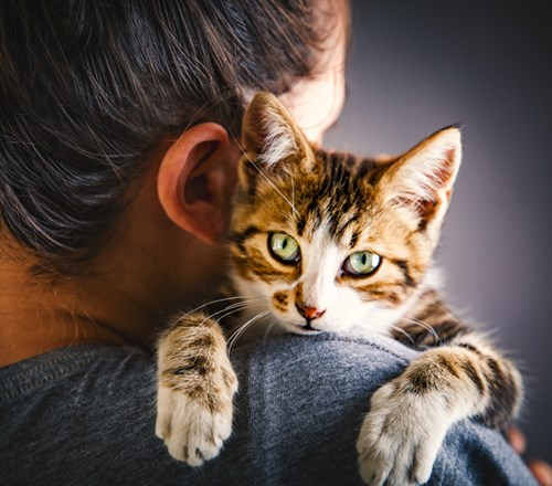 Cat Tabby Shoulder